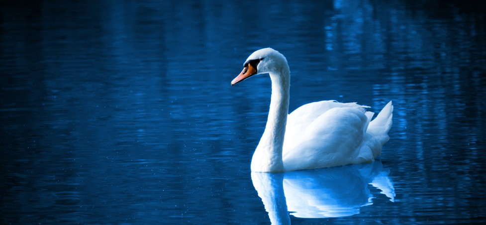 White Queen Swan
